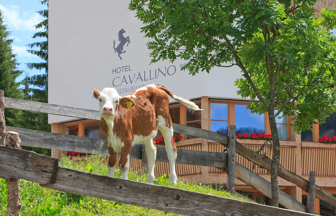Little calf on the meadow in front of Hotel Cavallino